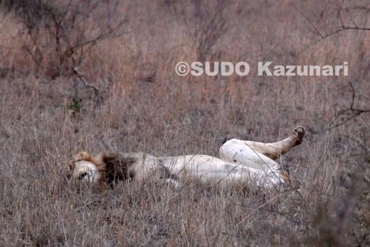 爆睡するライオン